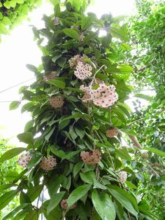 Hoya plant is a low-maintenance tropical indoor plant often called as wax plant or hindu rope plant due to its thick waxy leaves. Exotic Plants, Exotic Flowers, Tropical Plants, Amazing Flowers, Hindu Rope Plant, Hoya Plants, Plant Identification, Wax Flowers, House Plants Decor