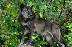 Black Wolf in Berry Bush (by Eve'sNature)