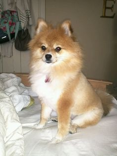Pomeranian, lion cut!