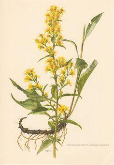 1955 European Goldenrod, Botanical Print, Vintage Lithograph, Solidago virgaurea, Woundwort, Asteraceae, Botany, Garden, Flowers