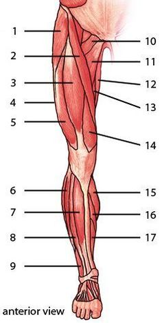Muscles Of The Lower Limb Anterior AspectThe Muscles Of The Lower Limb Anterior Aspect Musculos del pie. Más The Knee Joint Laminated Anatomy Chart The muscles of the lower limb, posterior aspect In this image, you will find common iliac, inter. Leg Muscles Anatomy, Leg Anatomy, Muscle Anatomy, Anatomy Study, Anatomy Reference, Art Reference, Anatomy Drawing, Muscular System Anatomy, Anatomy Art