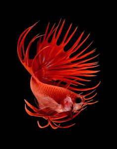 betta fish, siamese fighting fish by Visarute Angkatavanich