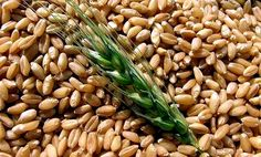 Elevó su previsión de producción total de granos en 2017-18 a 2.069 millones de toneladas, frente a 2.049 millones de toneladas en agosto, pero desde 2.133 millones previstas para 2016-17. LONDRES (INGLATERRA) - El Consejo Internacional de Cereales (