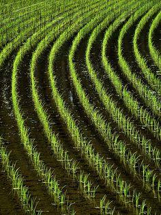 Japanese rice paddy