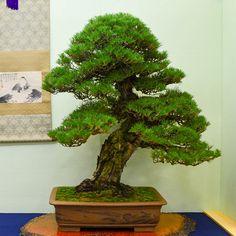 More outstanding bonsai from the 2014 Taikan-ten - Bonsai Tonight Bonsai Styles, Indoor Bonsai, Bonsai Art, Japan Travel, Herbs, Flowers, Matsu, Plants, Pine