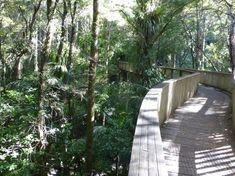 AH Reed Kauri Park canopy walk. Whangarei. NZ