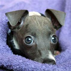 Heart warming story about a Italian Greyhound named Faith. #love