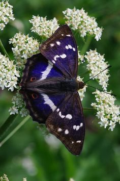 Male Purple Emperor Butterfly (Apatura iris).