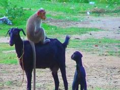 Goat and Monkey Funny Video This is a light moment from a place near Chennai (formerly Madras), Tamil Nadu state of India. A naughty monkey wants to ride on . Monkey Funny Videos, Videos Funny, Monkey Pictures, Funny Pictures, Piggy Back Ride, All Things Wild, Little Critter, Funny Moments, Cute Puppies