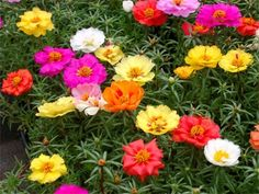 Portulaca. Plants that can hack the heat
