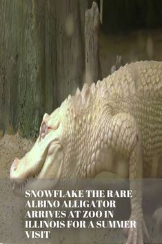 Snowflake The Rare Albino Alligator Arrives At Zoo In Illinois For A Summer Visit-Enjoy! Snowflake The Rare Albino Alligator Arrives At Zoo In Illinois For A Summer Visit-Enjoy! Big Dog Beds, Big Dogs, Funny Dog Memes, Funny Dogs, Dog Funnies, Dog Clicker Training, Dog Training, Brookfield Zoo, Surviving In The Wild
