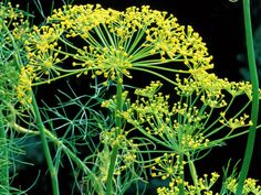 Dill is a popular herb in the kitchen, flavoring everything from pickles to fish. One of the benefits of growing dill is that both the leaves and seeds of dill weed plants are edible.The best way how to grow dill is directly from seeds.