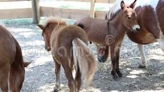 Video about Pony with cubs at shade in the paddock. Video of cubs, eating, calm - 77397969 Cubs, Pony, Shades, Horses, Animals, Image, Pony Horse, Animales, Bear Cubs