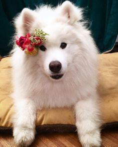 Resultado de imagen para 犬 Samoyeds 花