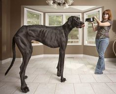 The tallest dog is a German mastiff by the name of Zeus, with a massive height of 1.118m (3.66ft). He lives with his family in Michigan, USA.