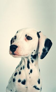 49 Best Dalmations images   Pets, Cute dogs, Cute puppies 4f017b798f12