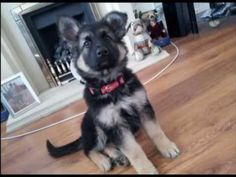▶ Sheba The Dog - Cute German Shepherd Puppy - YouTube