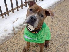 Gone Murdered RIP precious angel TO BE DESTROYED - 03/09/15 Manhattan Center -P  My name is CANELA. My Animal ID # is A1029046. I am a spayed female br brindle and white am pit bull ter. The shelter thinks I am about 6 YEARS old.  I came in the shelter as a OWNER SUR on 02/28/2015 from NY 10019, owner surrender reason stated was PET HEALTH.