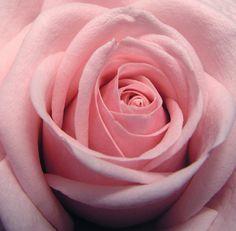 Rose 3 by atreja-stock.deviantart.com on @deviantART