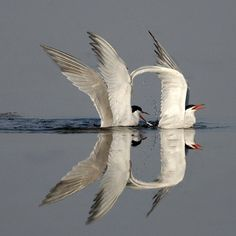 Beautiful reflection as they come in for a landing with such grace & style!