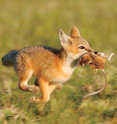 Resultado de imagen para fennec fox jump