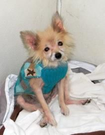 #INDIANA ~ Pierre is Neutered 9yo Longhaired Chi in need of a loving #adopter / #rescue at KOKOMO HUMANE SOCIETY  713 N Elizabeth  #Kokomo IN 46901  info@kokomohumane.org  Ph 765-452-6224