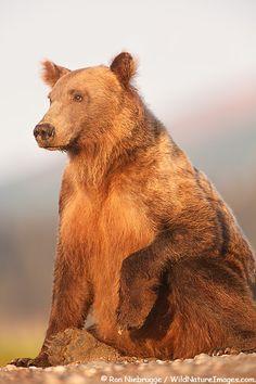 Beautiful Alaskan brown bear