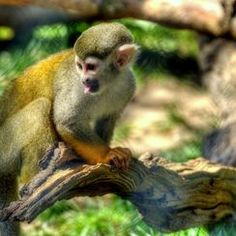 A squirrel monkey sticks its tongue out at a sibling in the Greater Vancouver Zoo.