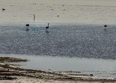Wilde flamingo's in het water van de Grevelingen bij Battenoord