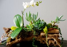 Succulents and orchids on driftwood- beautiful!