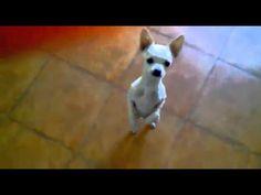 Esta Chihuahua que baila se está haciendo super famoso.. ¡Tienes que ver esto para creerlo!