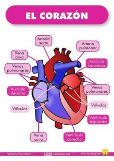 Medicine Notes, Medicine Student, Medical Students, Medical School, Studying Medicine, Human Body Organs, Medical Anatomy, Nursing Notes, School Essentials