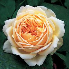 David Austin's geurende thee-rozen.Our cut Flower collection. Order them online @ http://www.parfumflowercompany.com