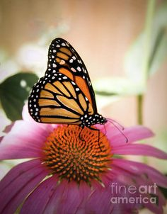 The Monarch:  http://fineartamerica.com/profiles/robert-bales/shop/all/ all/all