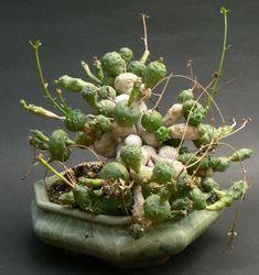 Молочай шаровидный (Euphorbia globosa)