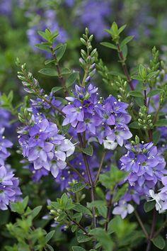 71 Best Purple Flowering Trees Images Beautiful Landscapes