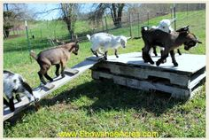 Simply Toys For Goats ~ Free pallets covered with scrap plywood and a small wood ramp will provide hours of goat fun! pinterest.com/snowshoeacres