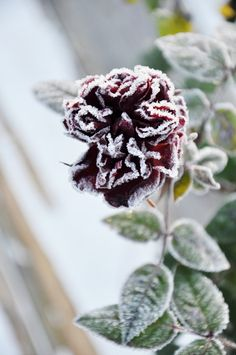 First frost on the rose
