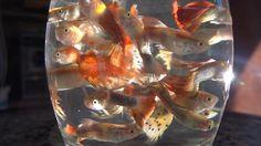 ALL GUPPIES FISH COLLECTIdamselfish Stegastes variabilis Cocoa damselfish.jpg سمك الجنة paradise fish Macropodus opercularis Macropodus opercularis - side (aka) edit.jpg نيون جوبي Neon Goby Elacatinus Elacatinus evelynae.jpg أوسكار (سمكة) Oscar Astronotus Ocellatus Astronotus ocellatus.jpg سوردتيل Swordtail Xiphophorus hellerii أسماك ولودة   مولي Xiphophorus hellerii red male 01.jpg جوبى guppy Poecilia reticulata أسماك ولودة   موليGuppy coppia gialla.jpg نيون تتراneon tetra…