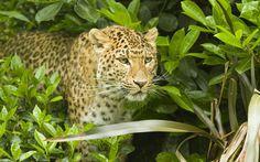 jaguar-wild-cat-1080P-wallpaper-middle-size.jpg (970×606)