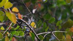 Garnet Robin (Eugerygone rubra) A bird in a tree, seen from below.
