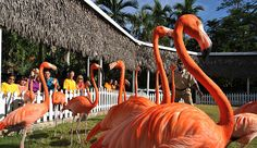 Flamingos at Ardastra Gardens Zoo in Nassau, Bahamas by Nassau Paradise Island Bahamas, via Flickr