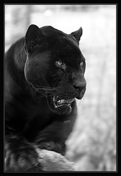 This is Jackson, the - already 20 year old - black panther in the zoo in Krefeld/Germany. Black Panther Cat, Black Panther Tattoo, Panther Leopard, Black Panther Marvel, Black Cats, Beautiful Cats, Animals Beautiful, Cute Animals, Wild Animals