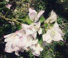 Bugambilia blanca con rosa