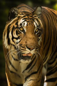 Bengal Tiger - Portrait by George**