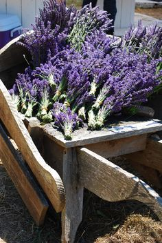 Fresh #lavender at the #lavenderfestival