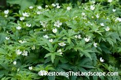 Canada Anemone ~ Anemone canadensis