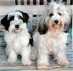 My Tibetan Terriers, Alfie and Chloe