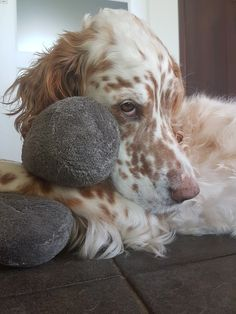 Charley ❤ #engelsesetter #englishsetter #setter #dogs