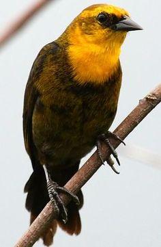 http://www.oiseaux.net/photos/maxime.dechelle/images/carouge.a.capuchon.maxd.1p.jpg